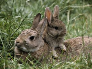 baby-bunny-rabbit-with-mother