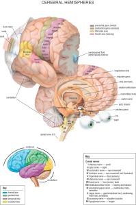 05_Cerebral_Hemispheres