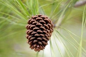 4068-pine-cone