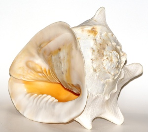 ACassis_cornuta_shell