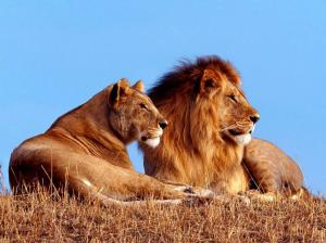 Amale-and-female-lion-photos-2