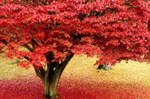 Maple tree. Lake district. Cumbria. England