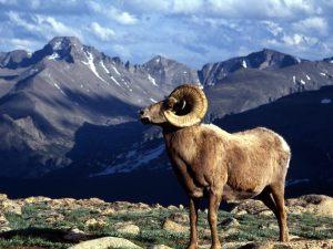 Big-RAM-animal