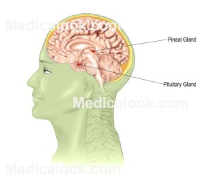 Pineal_Gland_large