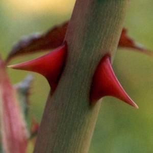 rose-thorn-300x300