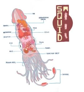 squid-anatomy-20101219-093529
