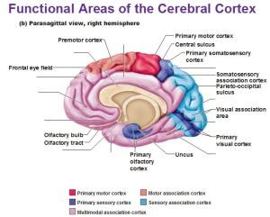 Aparts-of-brain-cerebrum-i15