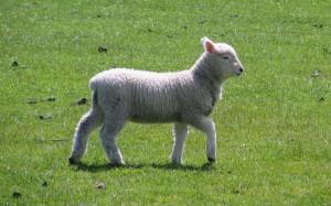 dunedin_lamb_spring_2008