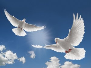two-white-dove-flying1