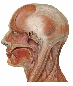 Head_sagittal_mouth