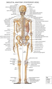 18_Skeletal_Anatomy_Posterior_View