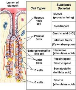 gastric-glands