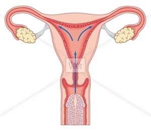 Cross section biomedical illustration of penis inside vagina during sexual intercourse showing direction sperm will travel