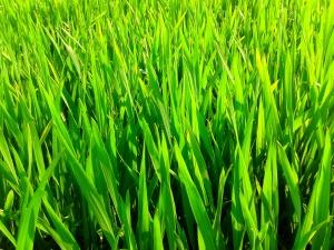 Wwheatgrass
