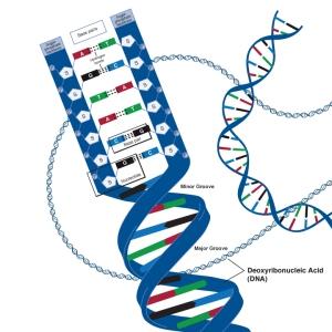 Zdna_deoxyribonucleic_acid_lg_adv