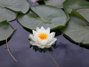 Zwhite_lotus