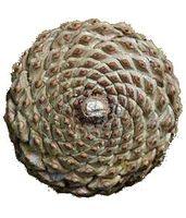 6cropPine_cone_spiral