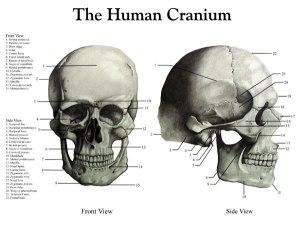 9The-Human-CraniumFull
