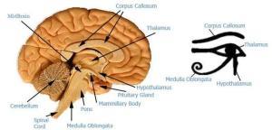 Beye_of_horus_thalamus_brain