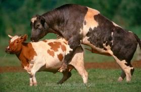 DEU, Deutschland: Hausrind (Bos taurus), Bulle bespringt Kuh, Paarungsverhalten, Rasse: Rotbunte, Weißblaue Belgier, Norddeutschland | DEU, Germany: Domestic cattle (Bos taurus), bull mounting a cow, mating habits, race: Red Holstein, Belgian Blue, Northern Germany |