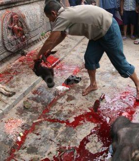 1254224043-ritual-of-animal-sacrifices-in-kathmandu150516_150516