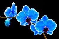2-blue-sapphire-phalaenopsis-orchid-robert-jensen
