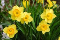 3-march-daffodils