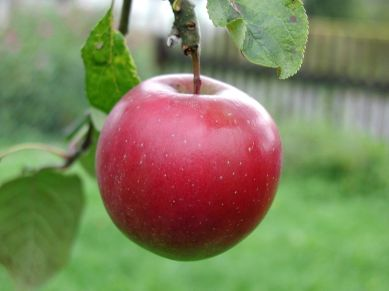 ABig_red_apple