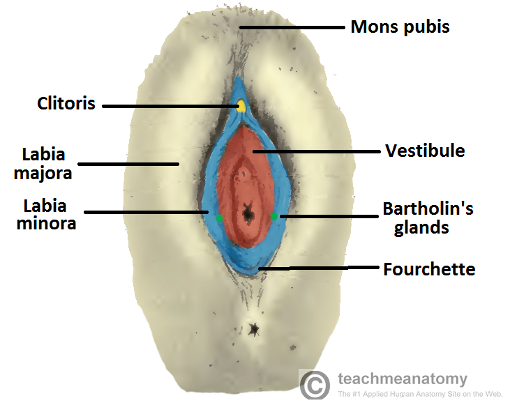 Anatomy Of The Vulva Superficial Female Genitalia Kylegrant76