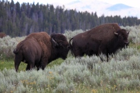 Bison-bull-and-cow