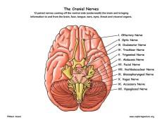 cranial_nerves72