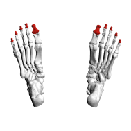 Distal_phalanges_of_foot08_inferior_view