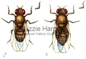 Drosophila_flies_-_male_and_female