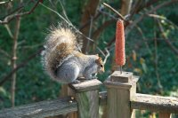 DSC08813.SquirrelCorn-779497