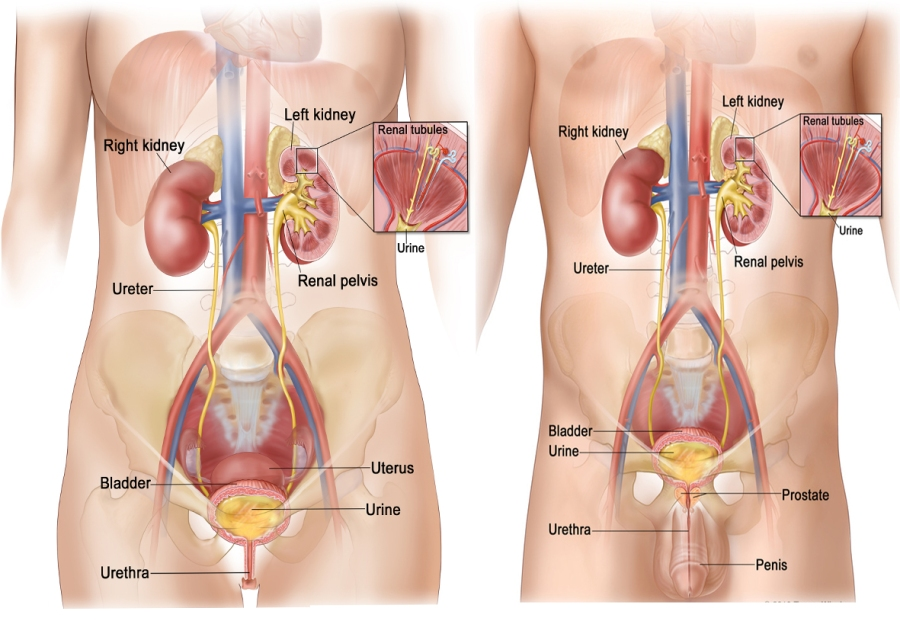 Female-and-Male-urinary-system | kylegrant76