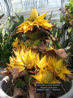 Golden Lotus Banana - Musella Lasiocarpa bunch