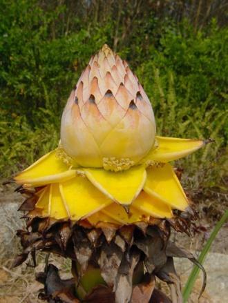 golden_lotus400