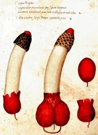 Junius Hadrianus Aldrovandi Fungus Priapeus