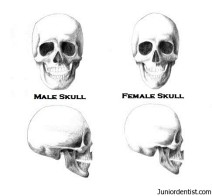 male-skull-vs-female-skull