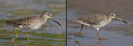 nonbReeding Long-biLLed _L_ and ShoRt-biLLed DowitcheRs