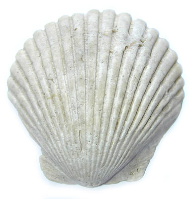 a single clam shell on a white background