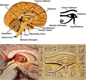 Opineal_gland_eye_of_horus
