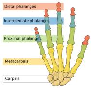 phalanges-11529_0