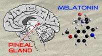 Pineal-Gland-and-Melatonin