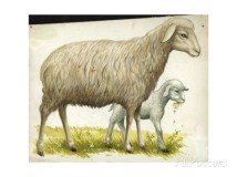 sheep-and-lamb-ovis-aries-illustration