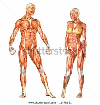 stock-photo-human-body-anatomy-man-and-woman-11476681