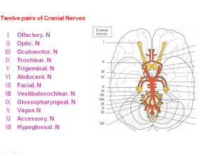 Twelve pairs of Cranial nerves