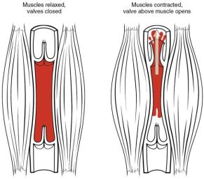 2114_Skeletal_Muscle_Vein_Pump