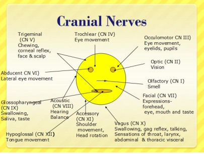 cranial-nerves-2.gif