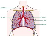 Lung_pLeuRa_2011_LaRge